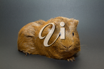 A guinea pig with a grey background
