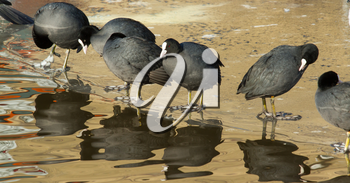 A row of washing common coots