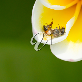 Dead fly in a yellow flower, isolated
