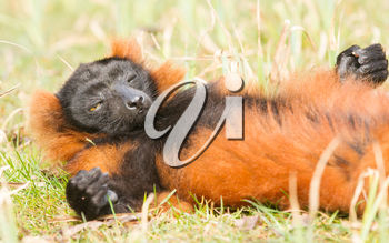 Red-bellied Lemur (Eulemur rubriventer) relaxing in the sun