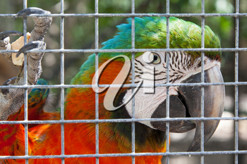 Colorful parrot in captivity, zoo in the Caribbean