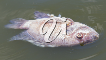 Death fish and waste water, selective focus on eye