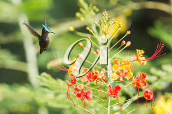 Antillean Crested Hummingbird (Orthorhyncus cristatus) busy collecting food