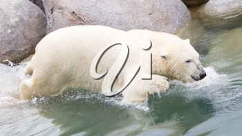Close-up of a polarbear (icebear) in captivity jumping in the water