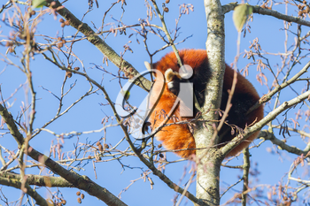 Red panda napping in a large tree