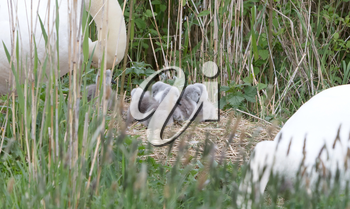 Couple swan with young swans, selective focus