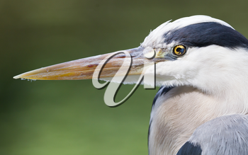 Great Blue Heron standing quietly, extreme close-up