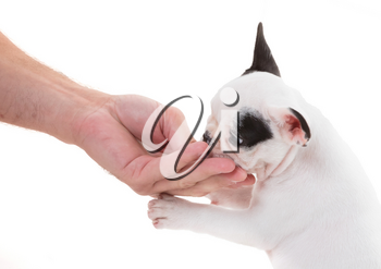 French puppy bulldog getting a treat, isolated on a white background, selective focus