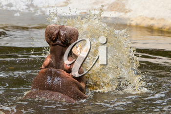 Hippo (Hippopotamus amphibius) with open mouth displaying aggression
