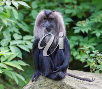 Lion-tailed Macaque (Macaca silenus) in it's natural habitat
