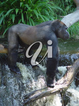 Pictures, Photos and Photographs of a Gorilla in The Jungle