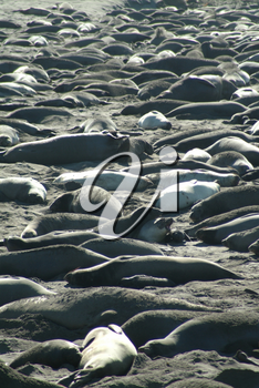 Stock Photography of Seals On The Beach