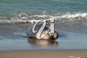 Stock Photography of an Ugly Male Elephant Seal