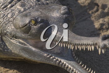Stock Photo of an Indian Gharial
