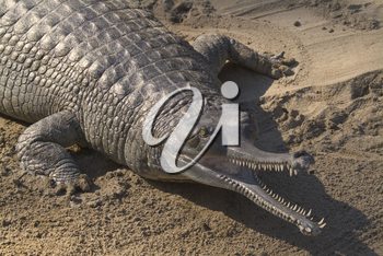 Indian Gharial Stock Photo