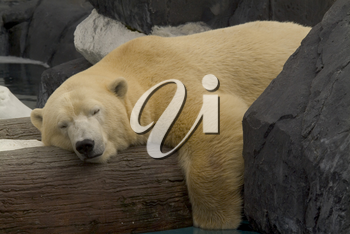 Stock Photo of a Lounging Polar Bear