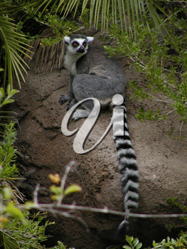 Ring Tailed Lemur Photograph