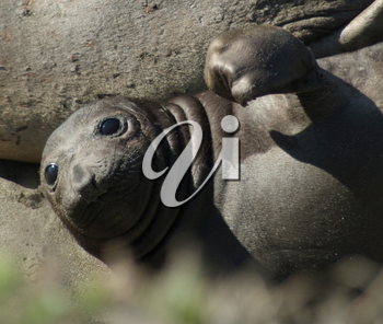Stock Image of an Elephant Seal Pup