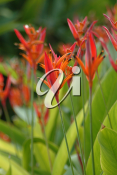 Stock Photo: Heliconia Flowers