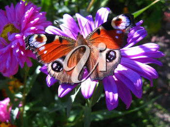 The butterfly of peacock eye on the flower