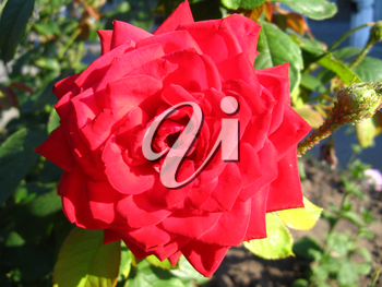 a beautiful flower of gentle red  rose