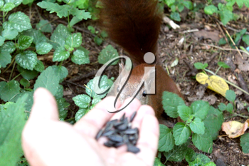 image of squirrel is feeding from hand in the park