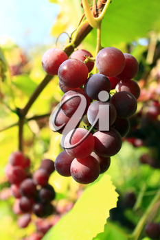 cluster with ripe and big berries of grapes