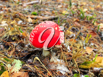 beautiful big red fly agaric in the forest