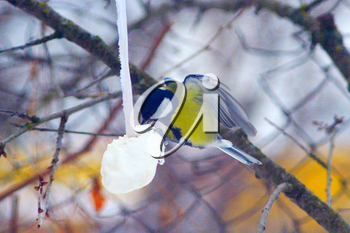 great tit eats bacon on the wing in winter