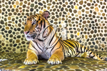 Tiger in zoo in Pattaya, Thailand in a summer day