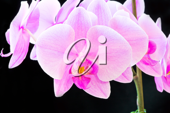 Photo of beautiful purple orchid on black background
