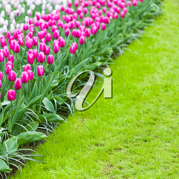 Pink tulips on a side of a loan. Place for caption.