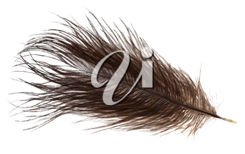 small ostrich feather on white background close up