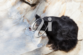 indian sloth bear in stone ravine in summer day