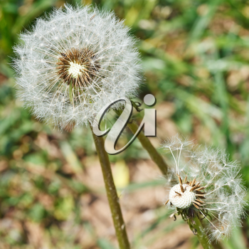 two seed heads of dandelion blowballs on lawn close up on lawn