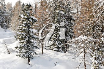 snow-covered coniferous forest on mountain in Val Gardena, Dolomites, Italy