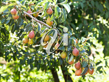 branch with ripe pear fruits on tree in garden in summer day