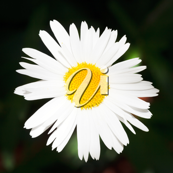 decorative fresh Ox-eye daisy flower close up