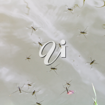 Adult water striders on lake surface in summer