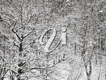 above view of snowbound oak and birch forest in winter snowfall