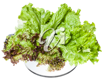 fresh green leaves of Lollo rosso and Leaf lettuce in steel pan isolated on white background