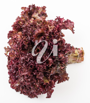bunch of fresh leaf lettuce lollo rosso on white background