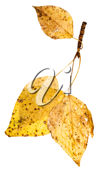twig with yellow autumn leaves of poplar tree (populus nigra, black poplar) isolated on white background