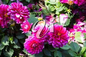 Travel to Turkey - pink dahlia flowers on green bush in garden in Istanbul city in spring