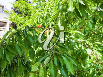 unripe fruits on plum tree on backyard of townhouse in summer day in Gerolstein city, Germany