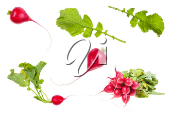 set of organic little red radish taproots isolated on white background