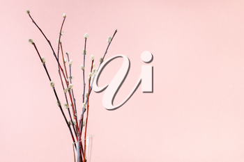 pussy willow sunday (palm sunday) feast concept - bunch of flowering pussy-willow twigs on pink pastel background with copyspace