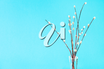 pussy willow sunday (palm sunday) feast concept - bunch of downy pussy-willow twigs on aquamarine pastel background with copyspace