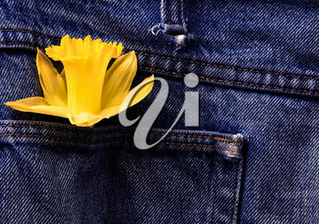 Daffodil and Blue Jeans studio shot with lighting