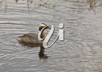 Horned Grebe in Saskatchewan Canada
